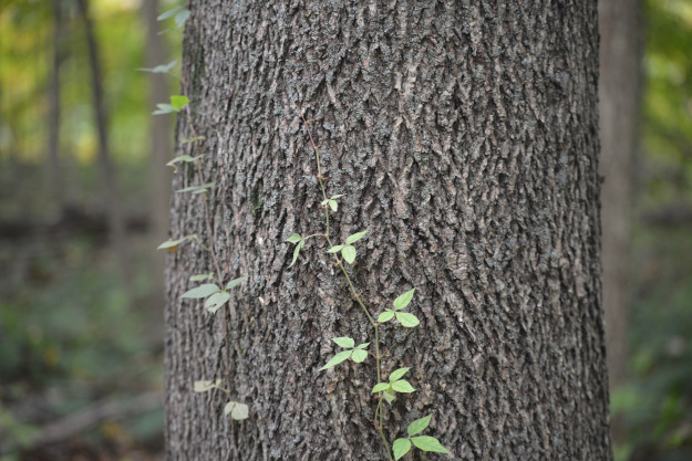photo of small vine of ivy wrapping around a tree